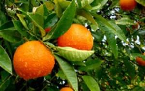portakal yaprağı şifa dağıtıyor